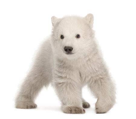bear cub: Polar bear cub, Ursus maritimus, 3 months old, walking against white background
