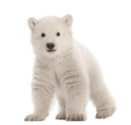 ours: Ourson polaire, Ursus maritimus, 3 mois, debout contre un fond blanc