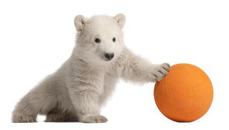 ourson: Ourson polaire, Ursus maritimus, �g� de 3 mois, en jouant avec boule orange sur fond blanc