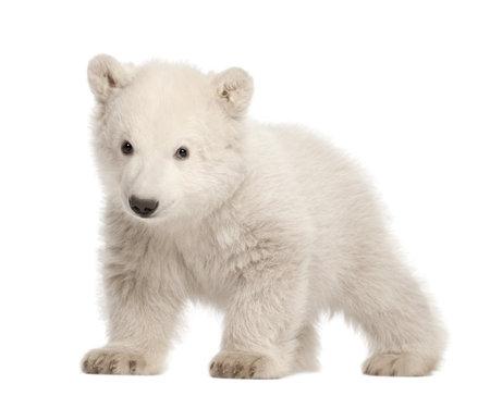 animal shot: Polar bear cub, Ursus maritimus, 3 months old, standing against white background