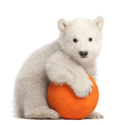 ursus: Polar bear cub, Ursus maritimus, 3 months old, playing with orange ball against white background