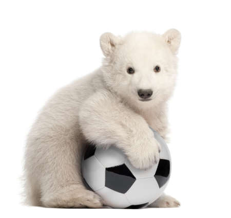 Polar bear cub, Ursus maritimus, 3 months old, with football sitting against white background photo