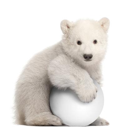 Polar bear cub, Ursus maritimus, 3 months old, with white ball sitting against white background photo