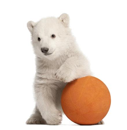 oso blanco: Osezno polar, Ursus maritimus, 3 meses de edad, jugando con la pelota naranja sobre fondo blanco Foto de archivo