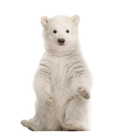 oso blanco: Osezno polar, Ursus maritimus, 3 meses de edad, sentado contra el fondo blanco Foto de archivo