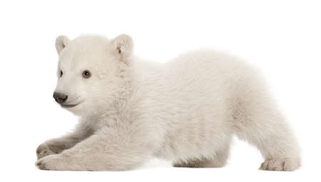 bear cub: Polar bear cub, Ursus maritimus, 3 months old, lying against white background Stock Photo
