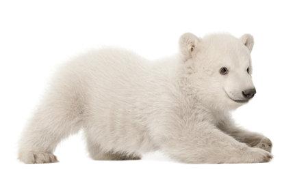 cachorro: Cachorro del oso polar, Ursus maritimus, 3 meses de edad, acostado sobre fondo blanco