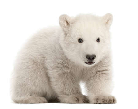 Polar bear cub, Ursus maritimus, 3 months old, sitting against white background photo
