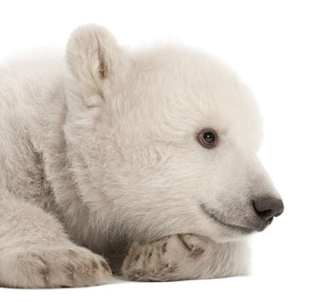 Polar bear cub, Ursus maritimus, 3 months old, lying against white background Stock Photo - 14275268