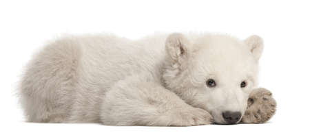 Polar bear cub, Ursus maritimus, 3 months old, lying against white background photo