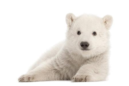 cachorro: Osezno polar, Ursus maritimus, 3 meses de edad, acostado contra el fondo blanco