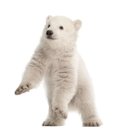 white bear: Polar bear cub, Ursus maritimus, 3 months old, standing against white background
