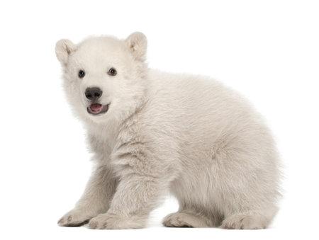 Polar bear cub, Ursus maritimus, 3 months old, standing against white background photo