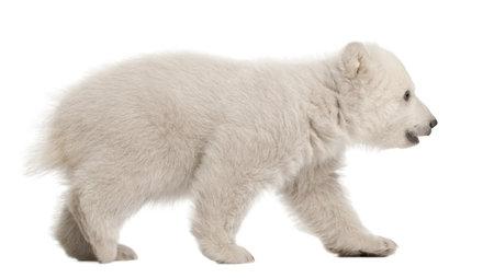 cachorro: Osezno polar, Ursus maritimus, 3 meses de edad, caminando contra el fondo blanco