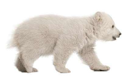 cubs: Polar bear cub, Ursus maritimus, 3 months old, walking against white background
