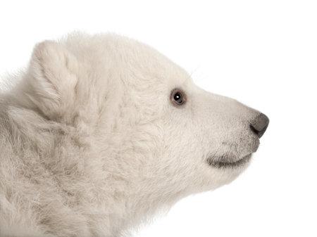 Polar bear cub, Ursus maritimus, 3 months old, against white background photo