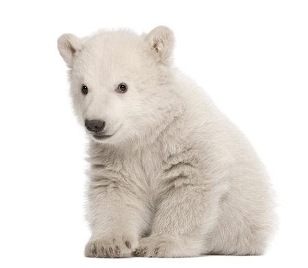 cachorro: Osezno polar, Ursus maritimus, 3 meses de edad, sentado contra el fondo blanco Foto de archivo