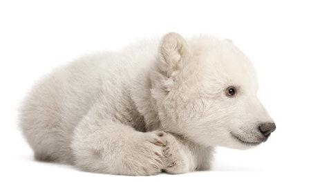 oso blanco: Osezno polar, Ursus maritimus, 3 meses de edad, acostado contra el fondo blanco