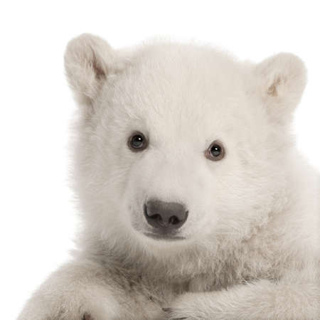 polar bear: Polar bear cub, Ursus maritimus, 3 months old, sitting against white background Stock Photo