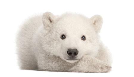 bear: Osezno polar, Ursus maritimus, 3 meses de edad, acostado contra el fondo blanco