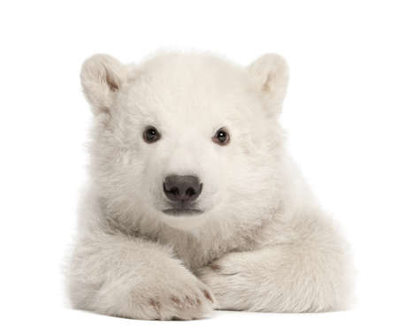 polar bear: Polar bear cub, Ursus maritimus, 3 months old, lying against white background Stock Photo