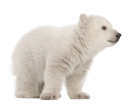 cubs: Polar bear cub, Ursus maritimus, 3 months old, standing against white background