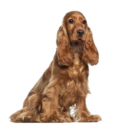 English cocker spaniel, 9 months old, sitting against white background photo