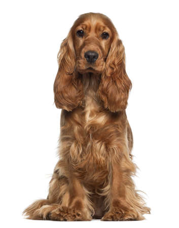 cocker: English cocker spaniel, 9 months old, sitting against white background Stock Photo