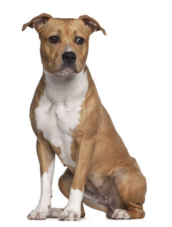 american staffordshire terrier: American Staffordshire Terrier, 8 months old, sitting against white background Stock Photo