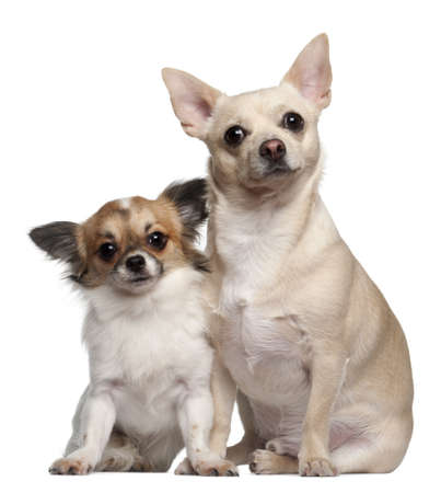 Chihuahuas, 1.5 years old and 1 year old, sitting against white background photo