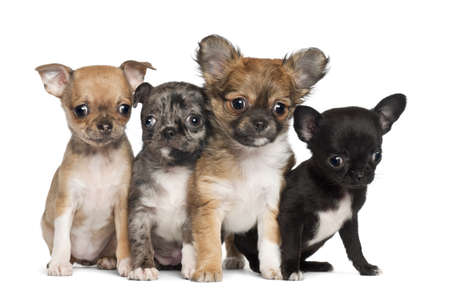 chihuahua 3 months old: Group of Chihuahua puppy, 3 months old, sitting against white background Stock Photo