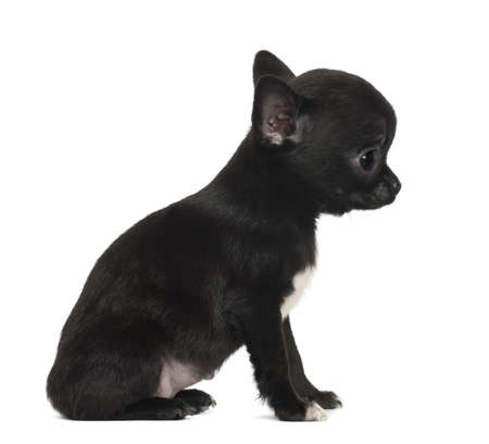chihuahua puppy: Chihuahua puppy, 3 months old, sitting against white background