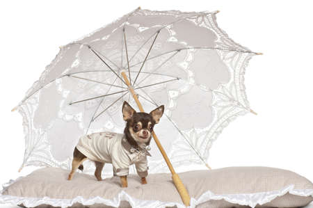 pampered pets: Chihuahua standing under parasol against white background Stock Photo