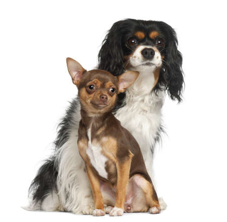 Chihuahua puppy, 6 months old and Cavalier King Charles Spaniel, 5 years old, sitting against white background photo