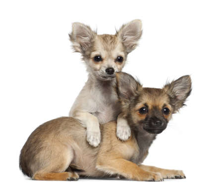 chihuahua 3 months old: Chihuahua puppy, 3 months old, lying against white background Stock Photo