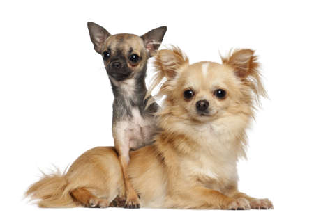 Chihuahuas lying against white background photo