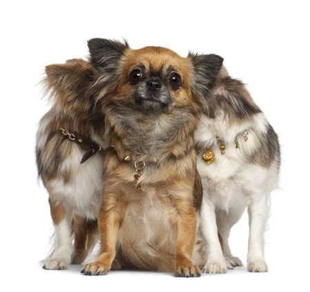 Chihuahuas with two hiding behind, sitting against white background photo