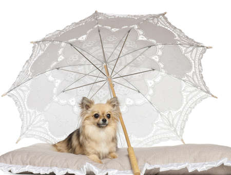 pampered pets: Chihuahua, 2 years old, lying under parasol against white background
