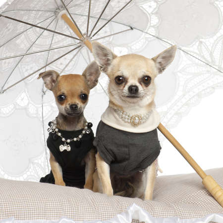 pampered pets: Chihuahuas, 3 years old, sitting under parasol against white background Stock Photo