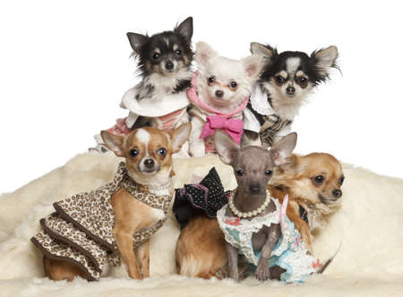 Chihuahua puppies and adults in clothing sitting against white background photo