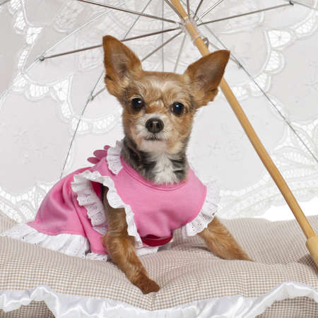 pampered pets: Yorkshire Terrier, 9 years old, sitting under parasol against white background
