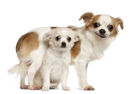 15 months old: Chihuahuas, 15 months old and puppy, 2.5 months old, smiling against white background