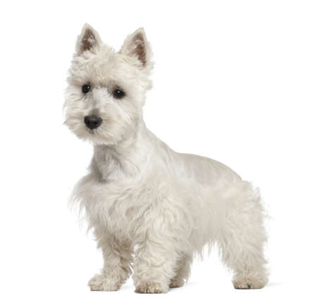 West Highland White Terrier puppy, 6 months old, standing against white background photo