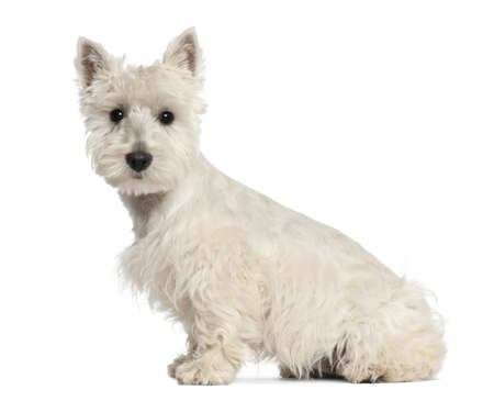 West Highland White Terrier puppy, 6 months old, sitting against white background photo