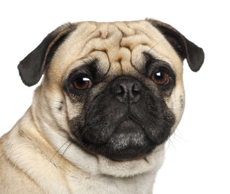 Pug, 3 years old, sitting against white background photo