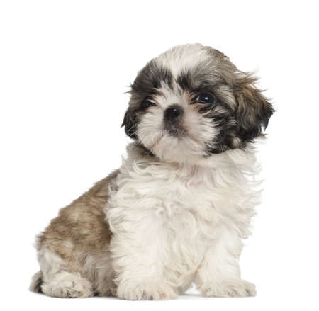 Shih Tzu puppy, 2 months old, sitting against white background photo