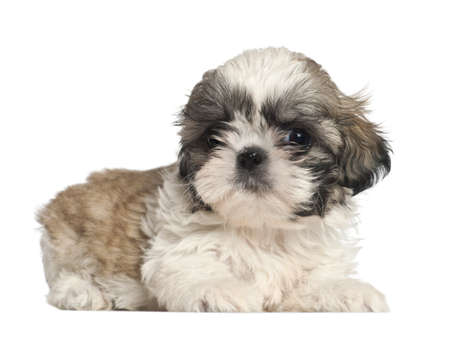 Shih Tzu puppy, 2 months old, lying against white background photo