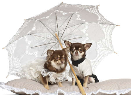 Chihuahuas sitting under parasol against white background photo