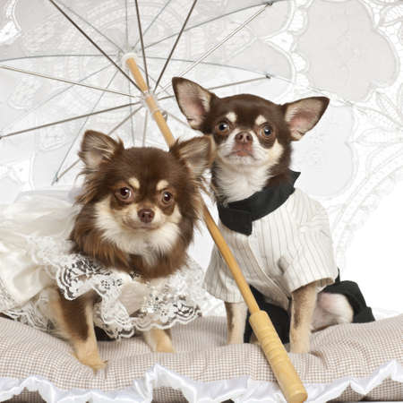 pampered pets: Chihuahuas sitting under parasol against white background