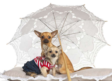 pampered pets: Chihuahua, 7 months old and 9 months old, sitting under parasol against white background